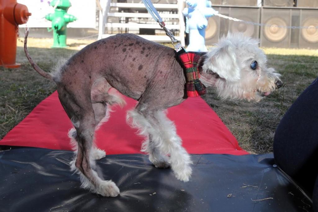 angus-world-ugliest-dog-competition