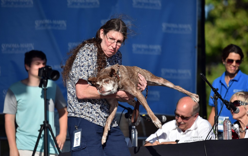 Quasi Modo is presented before judges during the World's Ugliest Dog Competition in Petaluma, California on June 26, 2015. Quasi Modo went on to win first prize as the ugliest dog in the competition.  AFP PHOTO/JOSH EDELSON        (Photo credit should read Josh Edelson/AFP/Getty Images)